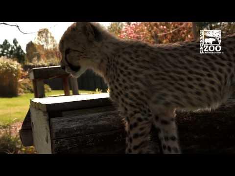Cheetah Cub Kris And Puppy Remus Explore Large Yard - Cincinnati Zoo