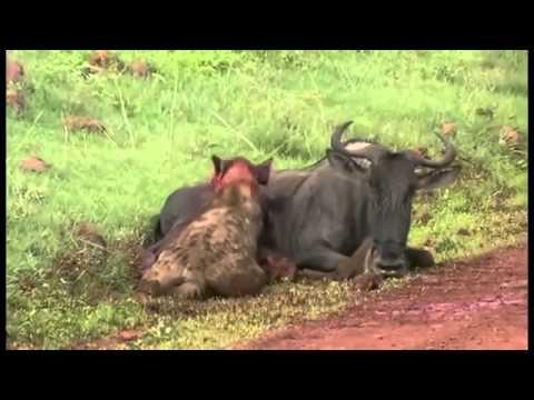 IMPACTANTE HIENA DEVORA VIVO A UN ÑU (Hyena eating  gnu alive)