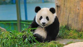 Live: Virtual encounter with giant pandas – Ep. 31可爱预警!与国宝大熊猫\
