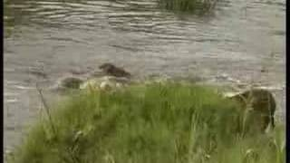 Lioness teaches cubs river crossing