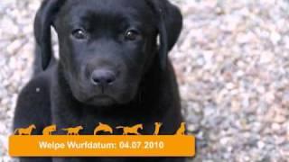 Süße Labrador Welpen Zu Verkaufen