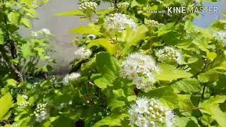 Мой сад, Часть -3 . Вейгелы,жимолость,пузыреплодники,хосты и др