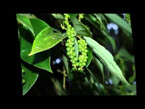Как вырастить перец горошком? - ответы на вопросы