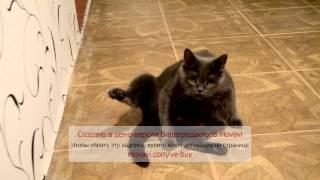 Шотландская плюшевая кошка.