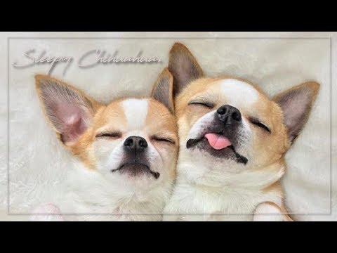 チワワ(子犬)の仲良し兄弟!優しい兄とヤンチャな弟|Chihuahua Brothers|치와와의 형제 #Dog #Cute #チワワ