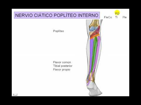 INERVACION DE MIEMBRO INFERIOR 8 - YouTube
