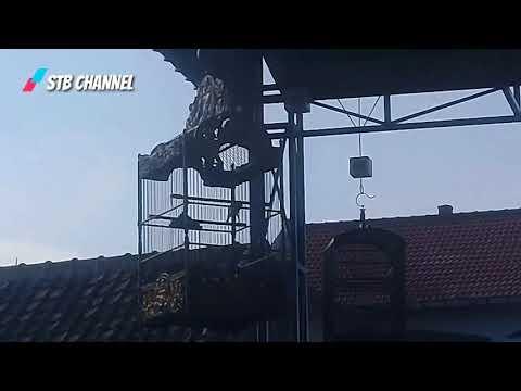 Download Lagu Kenari Bebas | Lomba Kicau Burung Yuvan Enterprise Bersama Ronggolawe Nusantara DPC Ponorgo