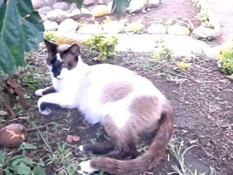 gata seychellois criadero pensilvania