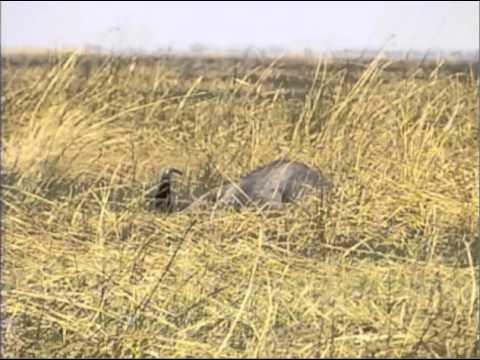 Cape Buffalo charge
