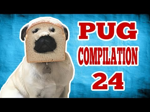 Pug Compilation 24 - Funny Dogs but only Pug Videos   Instapugs