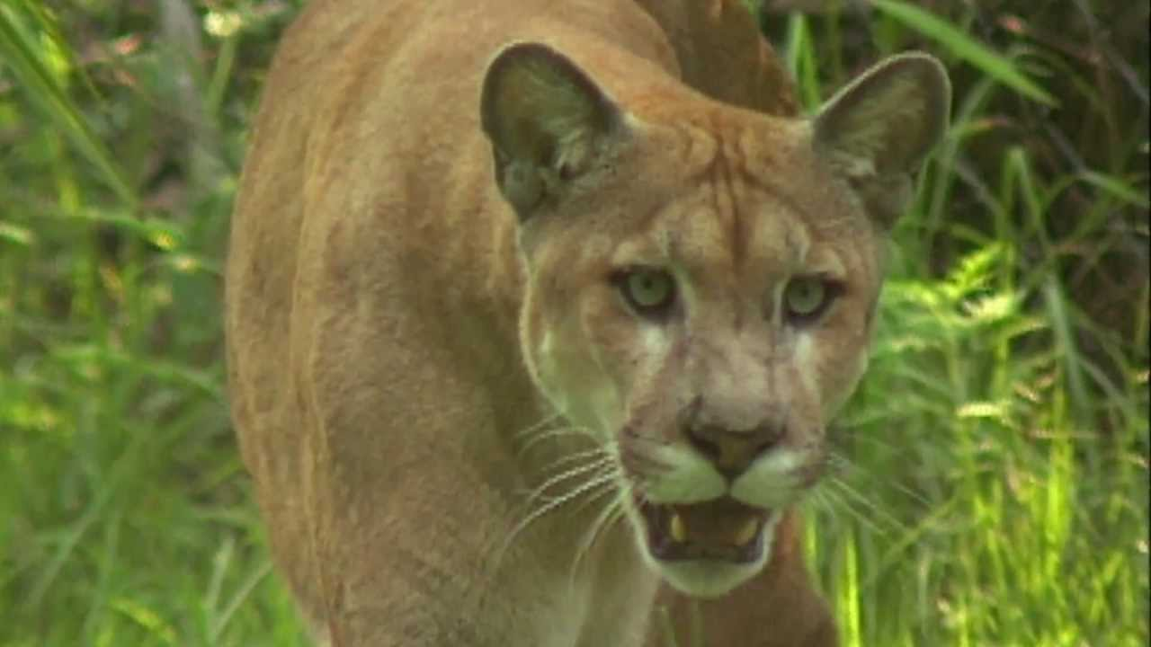 497bf9dcaf6 By the Numbers  Saving the Florida Panther - YouTube