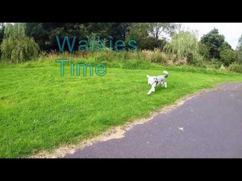 Old English Sheepdog - Walkies Time!