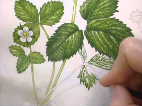 botanical illustration of a wild strawberry by lizzie