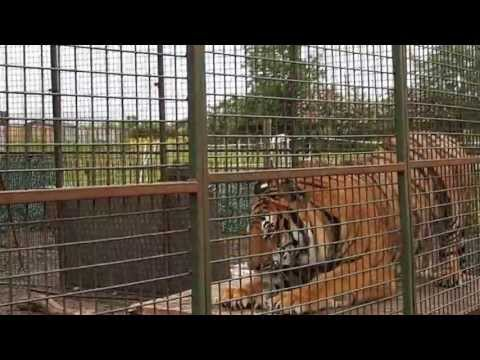 Tigers in Ballymoney