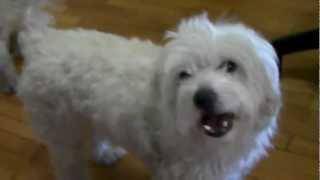 Glykoylis Maltese Dog Sings Along With Harmonica