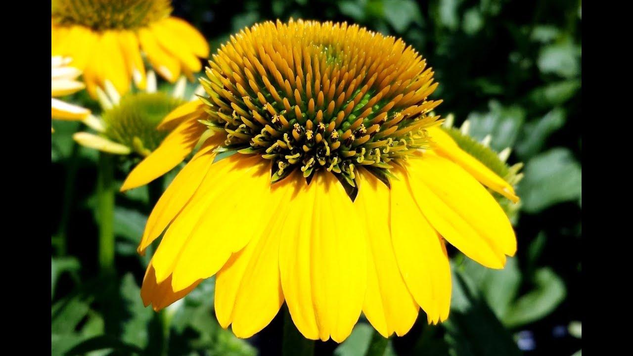Best Perennials Echinacea Sombrero Lemon Yellow Coneflower