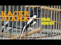 Pertarungan Burung Kacer Jawara Ramai Bikin Pusing  Mp3 - Mp4 Download