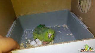 تفقدت أعشاش الطيور شو صار ببيض الباروليت وأخبار الإنتاج عند باقي الطيور