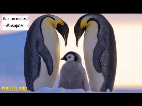 Пингвины || PHOTO LAND (пингвины, пингвины видео, маленький пингвин)