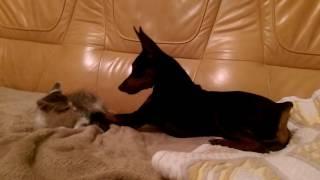 Цверг-Пинчер и кот