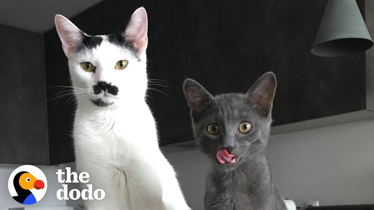 The Chaotic Life Of Charlot The Mustache Cat   The Dodo Cat Crazy