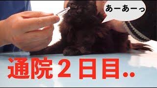 初診で、急性膵炎の初期だろうと診断された黒猫・美美。 一回でなんとか...