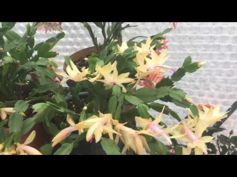 Цветение моих декабристов, зигокактус Шлюмбергера. 4 вида / цвета декабриста.