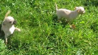 щенки чихуахуа пара