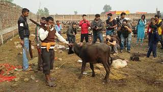 old traditional cutting the buffalo....