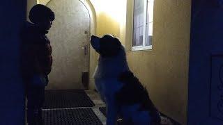 Мальчик дрессирует Московскую Сторожевую собаку.