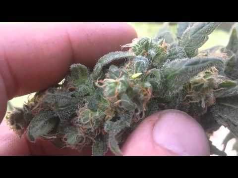 Superweedman finds a hermie (hermaphrodite) 2015