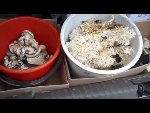 VLOG: Поездка за грибами/Сбор и приготовление Караллового гриба