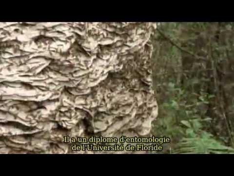 Nid de gu pes norme youtube - Petit nid de frelon ...