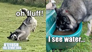 husky-washes-his-own-paws-and-face-slips-over-in-the-mud