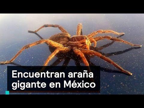 Encuentran araña gigante en México - Noticias con Karla Iberia