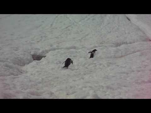 Penguins in Neko Harbour