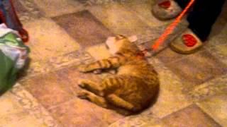 Выгул Рыжего кота-зомби =)