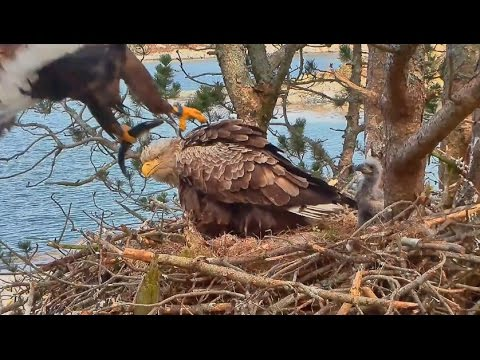 Smola Norway Eagles Nest Cam ~ Baron Delivers Live Flopping Fish 5.14.17
