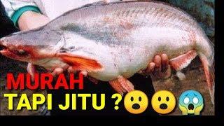 2 Umpan Jitu Ikan Patin Youtube