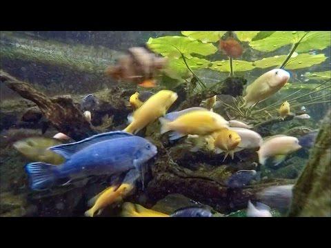 African Cichlid Pond