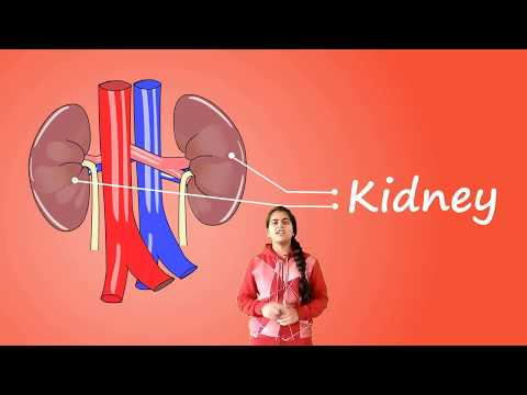 The Kidney- Picture, Function & Definition