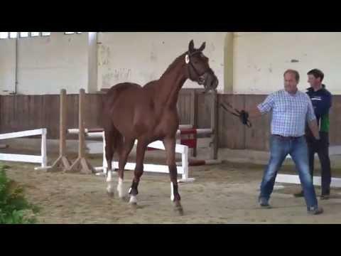 Stakkato-Cornet Obolensky stallion * 2013