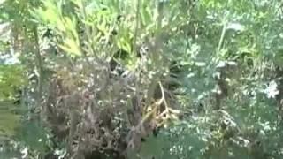 Wormwood herb: Artemisia absinthium