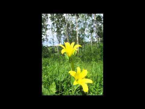 Драгоценные растения Сибири.  Красоднев