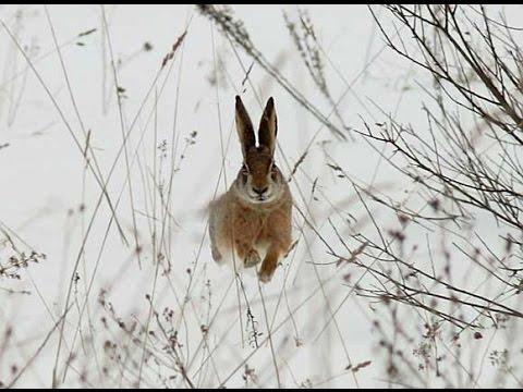 Охота на зайца с дратхааром 2016