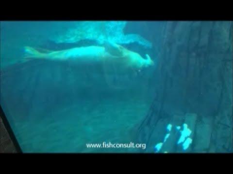 Walrus  Odobenus rosmarus  Part I Introduction   distribution – description