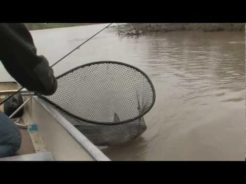 Yellowstone River Catfish