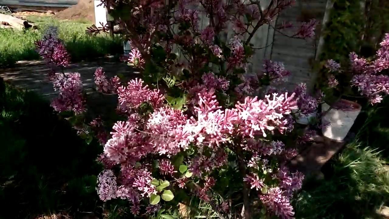 Download Meyer's lilac. Bez Meyera