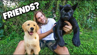 BLACK JAGUAR MEETS PUPPY FOR THE FIRST TIME ! WILL THEY BE FRIENDS ?!