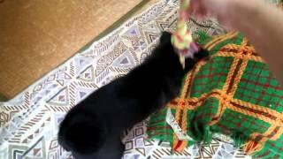 生後5ヶ月の黒パグ、テンション上がる。